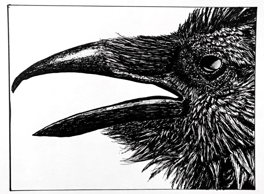 Crow pen and ink drawing