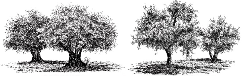 Pen and ink drawings of olive trees