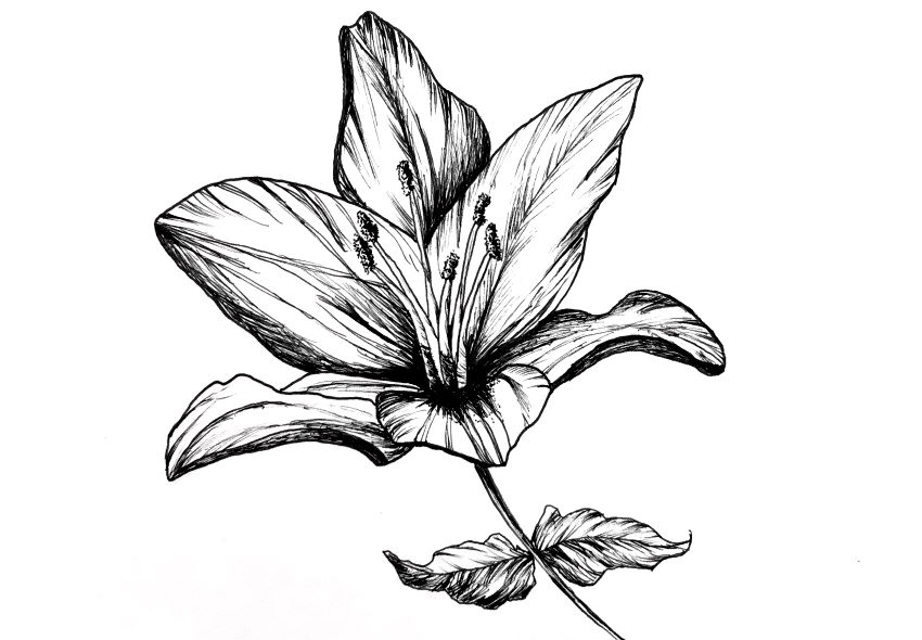 Pen and ink drawing of a flower