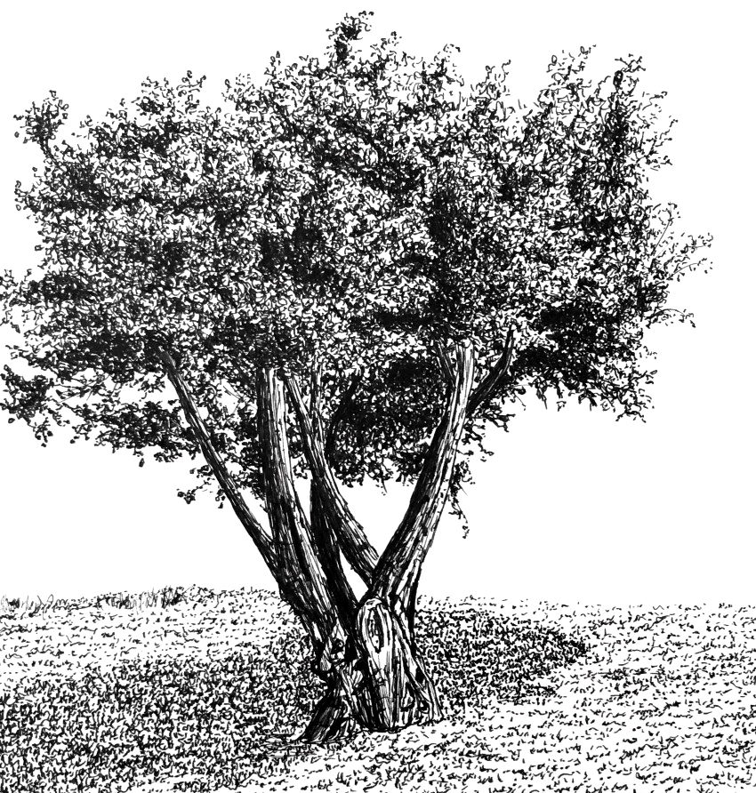 Pen and ink drawing of an olive tree