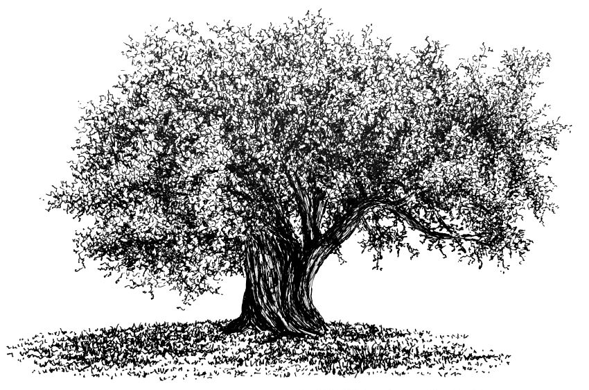 Pen drawing of an olive tree & shadow
