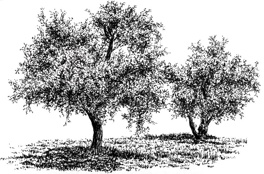 Pen and ink drawing of two olive trees
