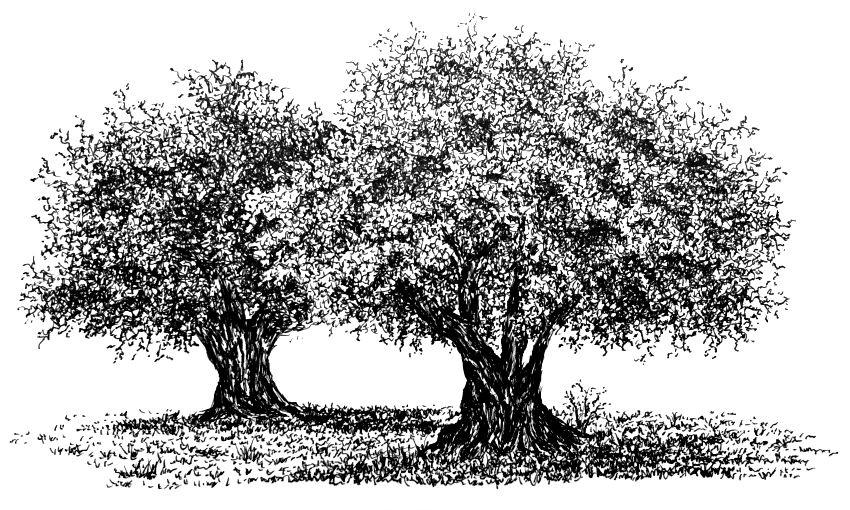 Pen drawing of two overlapping olive trees