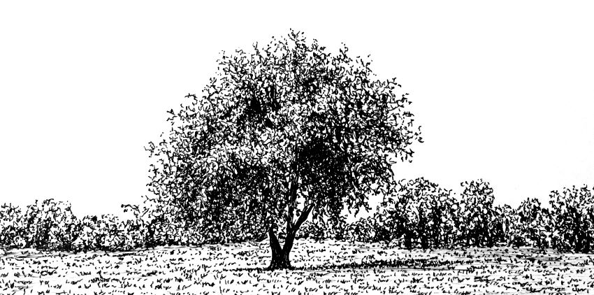 Pen and ink drawing of a tree