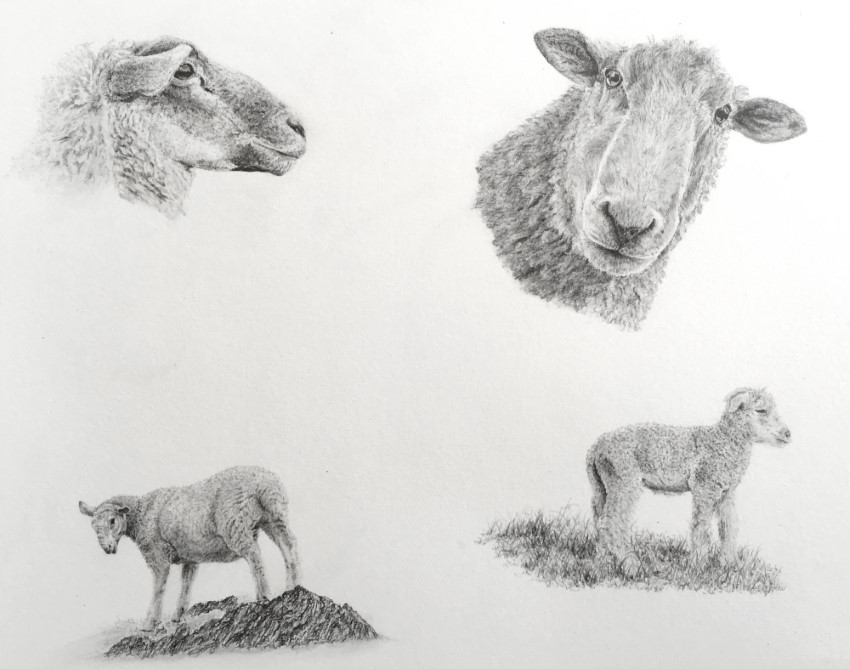 Sheep realistic pencil drawings