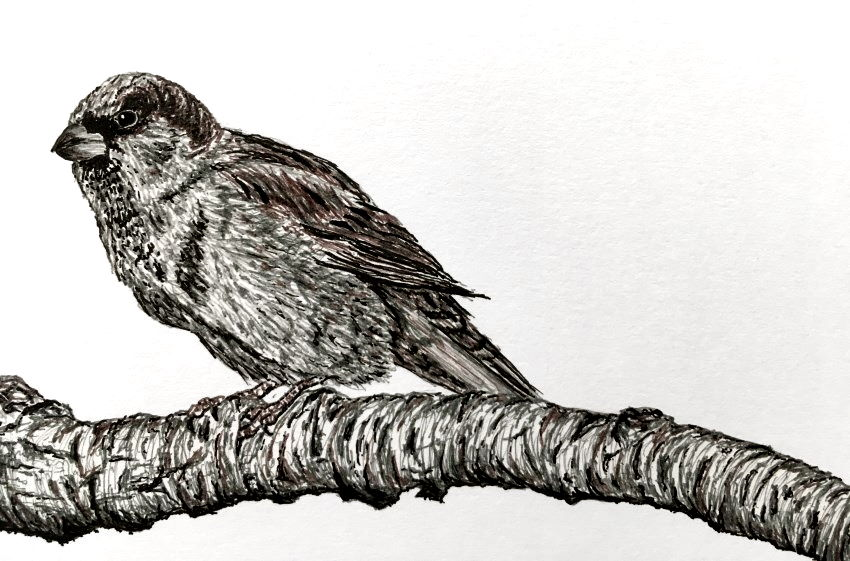 Pen drawing of a sprarrow bird with UNI PIN