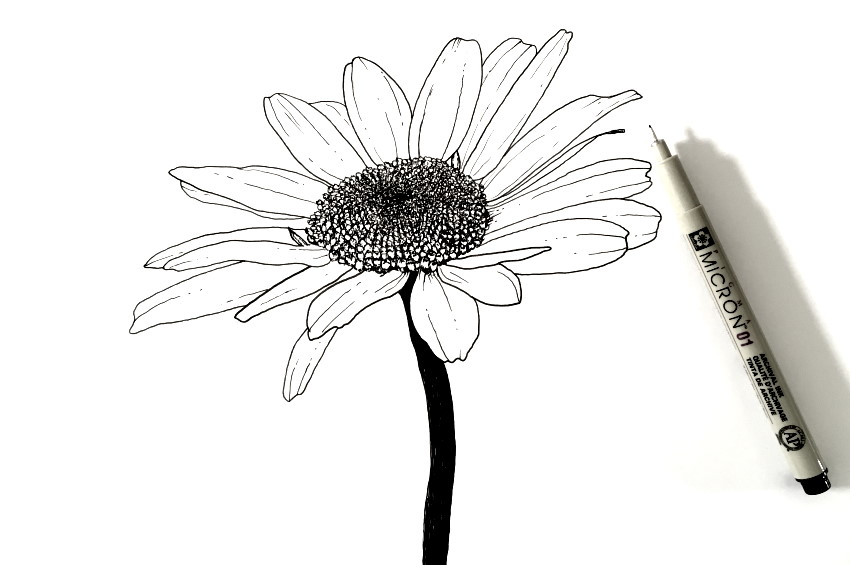 Common daisy flower pen drawing