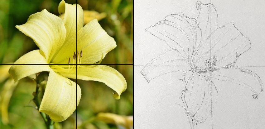 Pencil drawing of a lily flower
