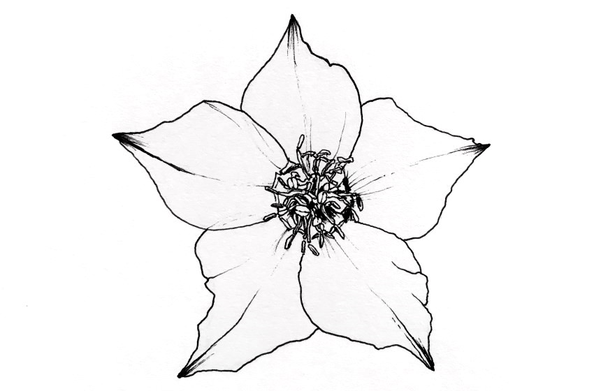 Pen and ink drawing of a hellebore flower