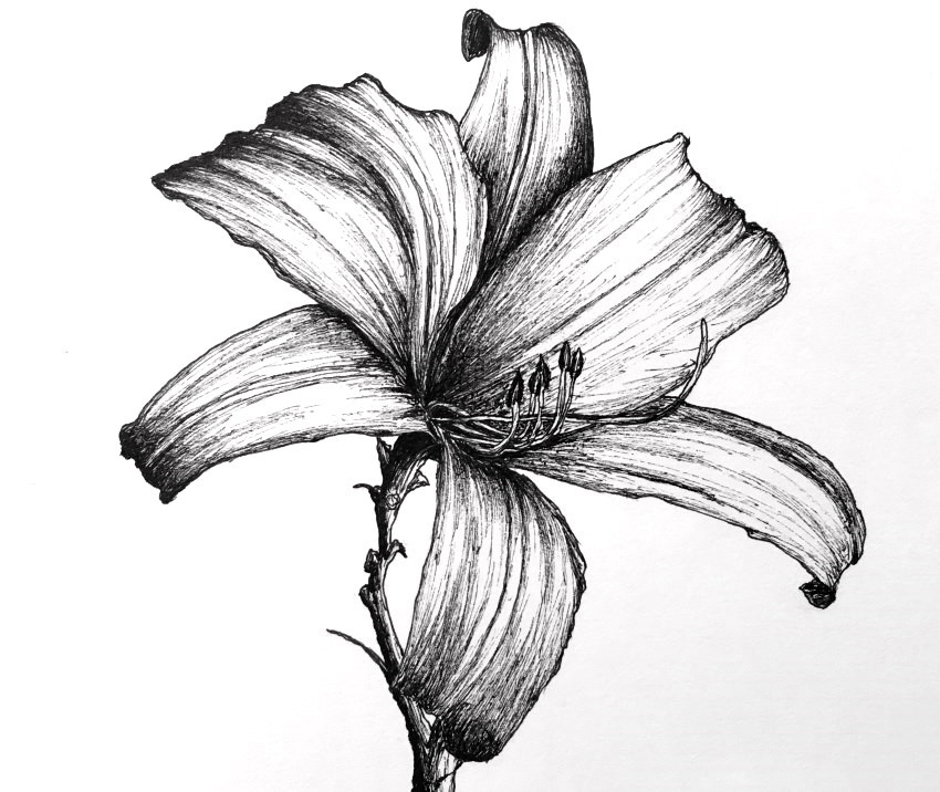 Pen and ink lily flower drawing