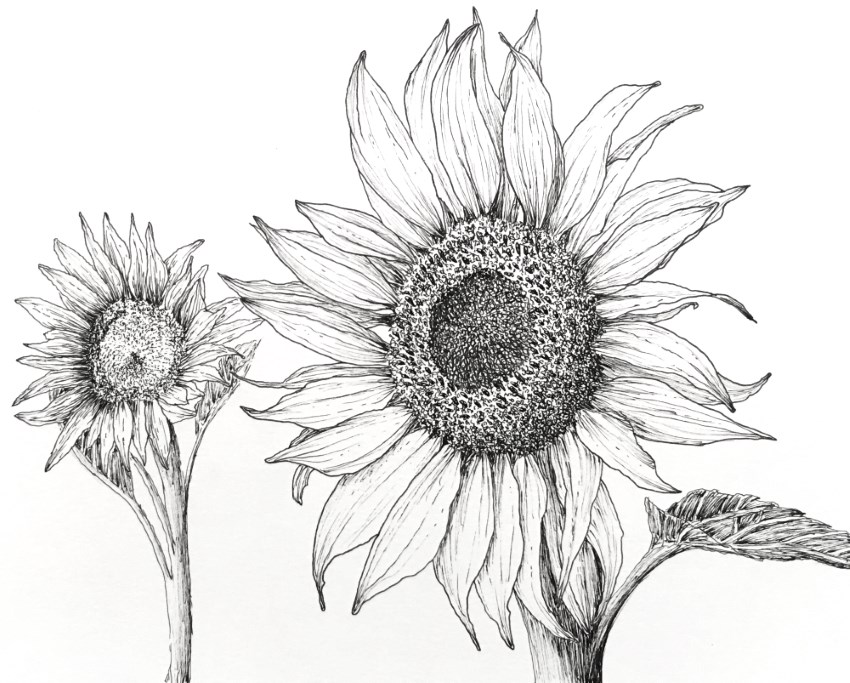 Sunflower pen and ink drawing