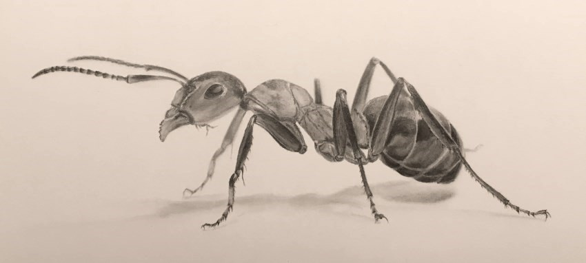 Pencil drawing of an ant