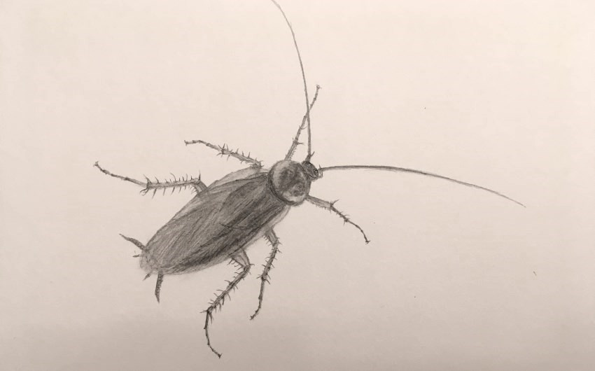 A pencil drawing of a cockroach