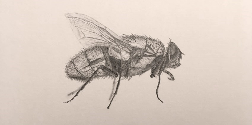 A pencil drawing of a fly