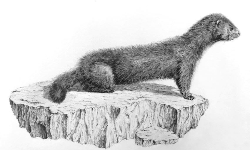 Realistic pencil drawing of a mink