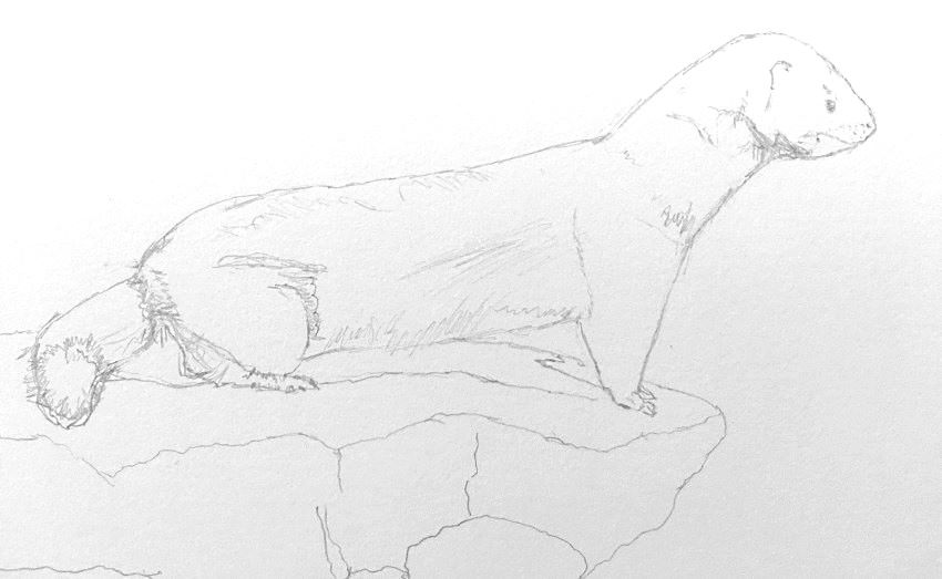 Initisal sketch of a mink