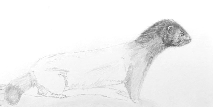 Drawing the head of the mink