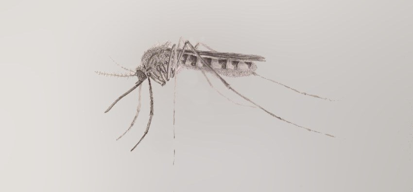 Mosquito pencil drawing