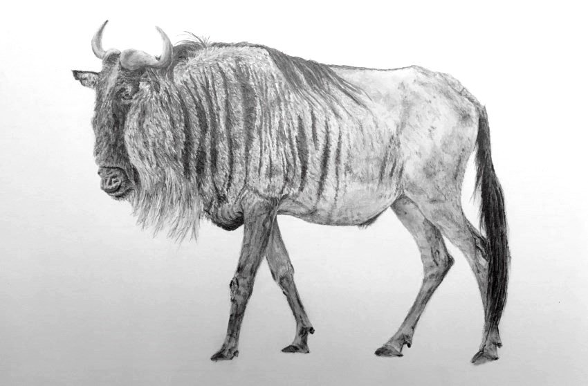 Pencil drawing of a wildebeest