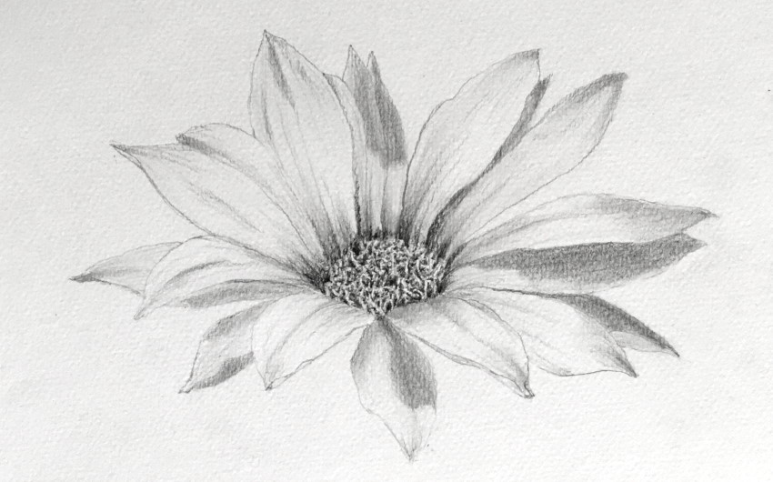 Gazania flower pencil drawing, side view